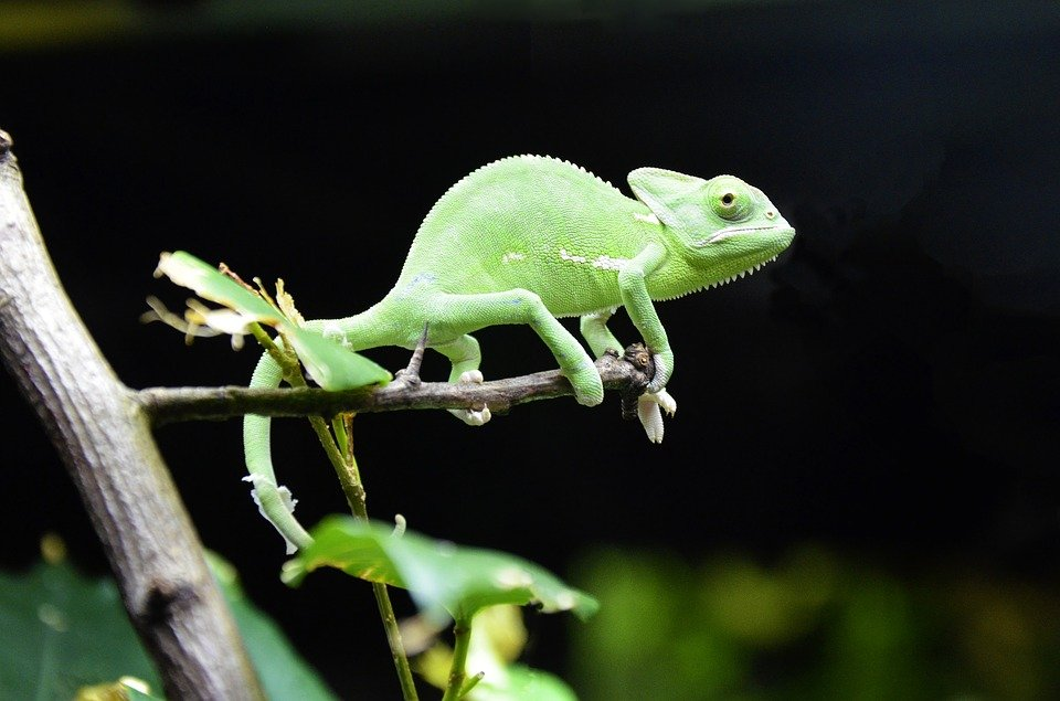 How Big Do Veiled Chameleon Baby Get
