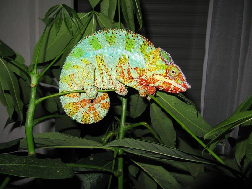 Simple Chameleon Care Tips