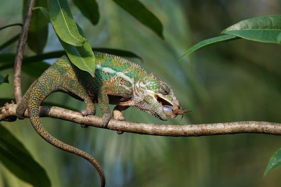What Do Chameleons Eating