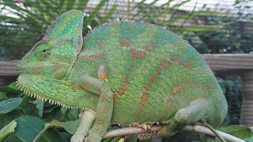 Gravid Chameleon