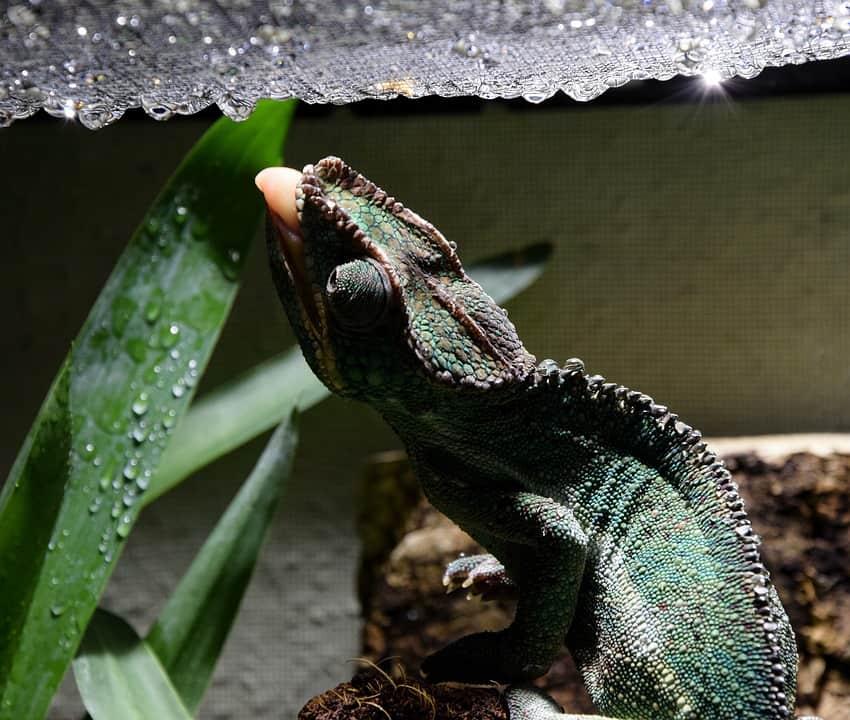 How Do Chameleons Drink Water