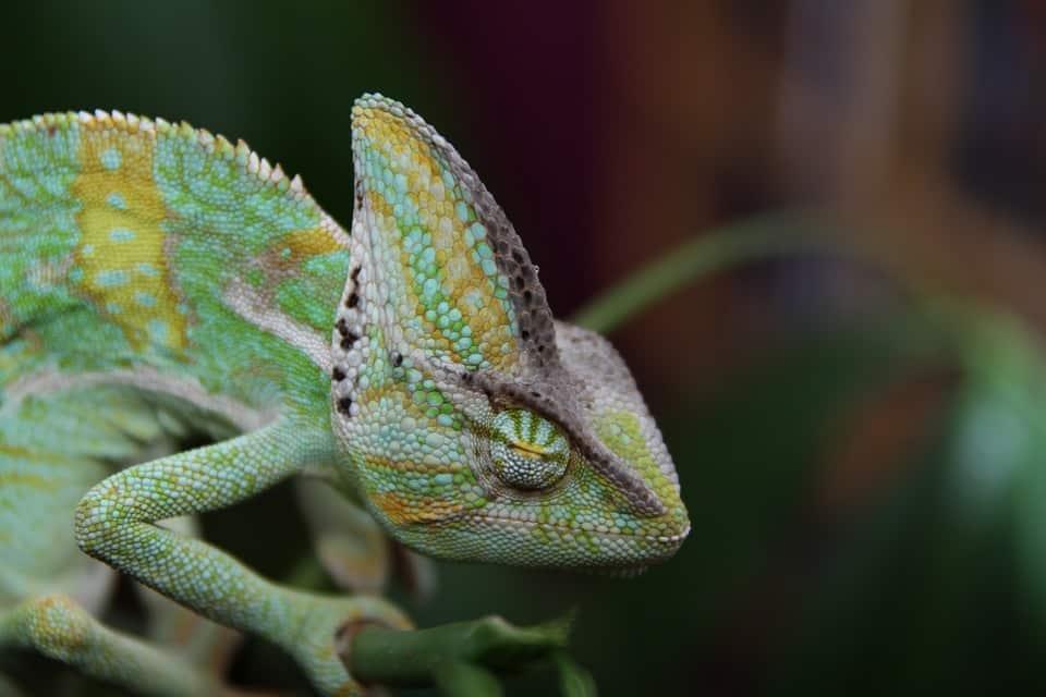 Do Chameleons Sleeping