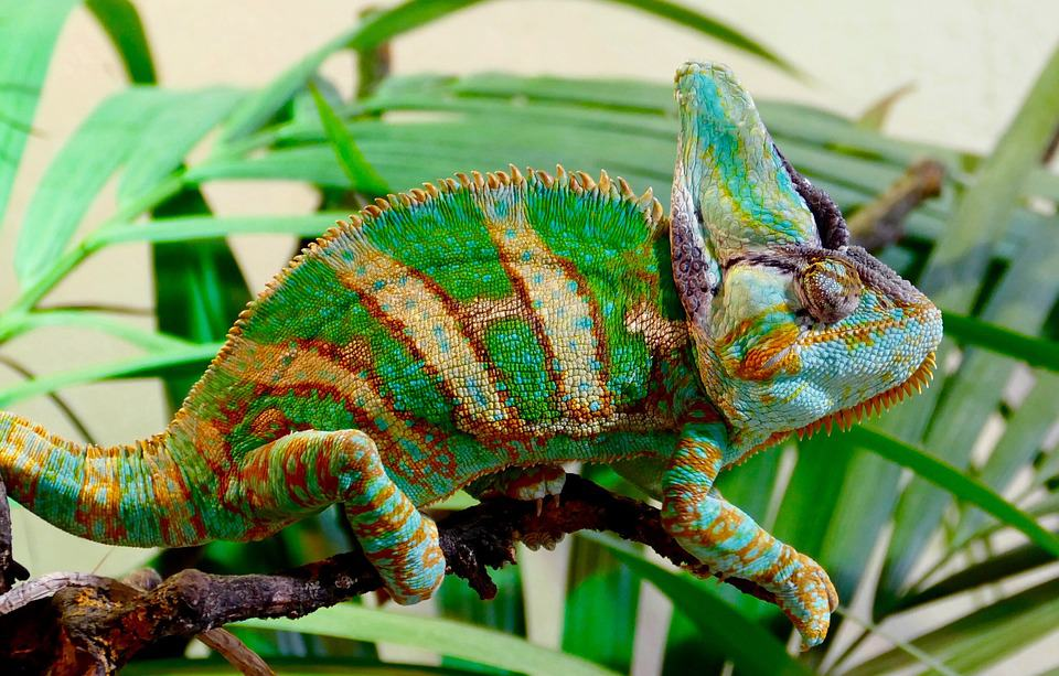 where do Chameleons Sleeping