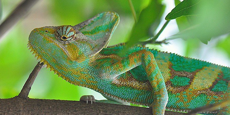 Buying A Chameleon