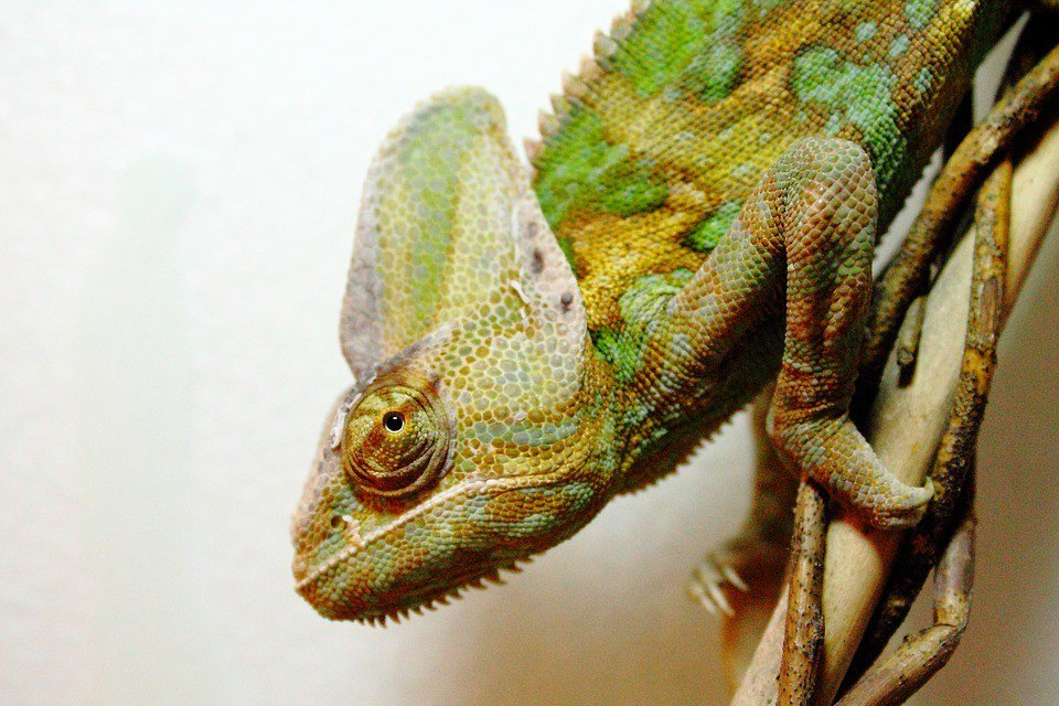 Veiled Chameleon Lifespan