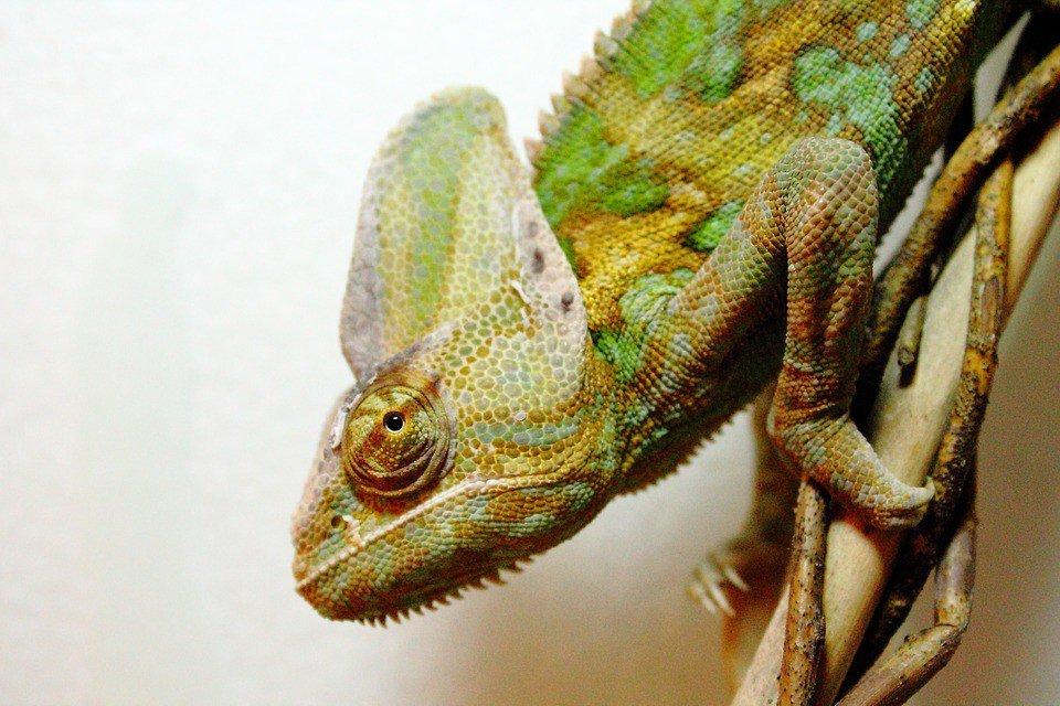 Veiled Chameleon Lifespan
