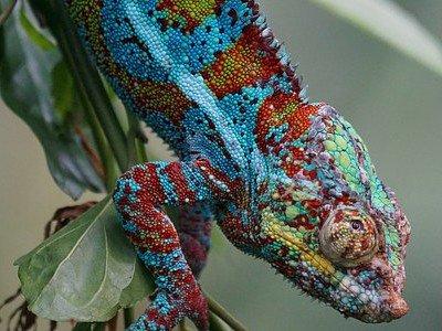 Chameleon Skin Color