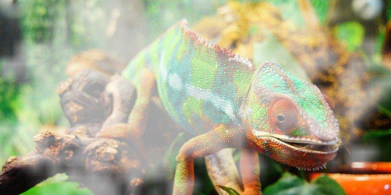 Chameleon Humidity