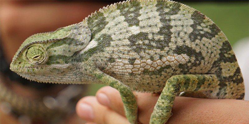 Chameleon Pregnancy