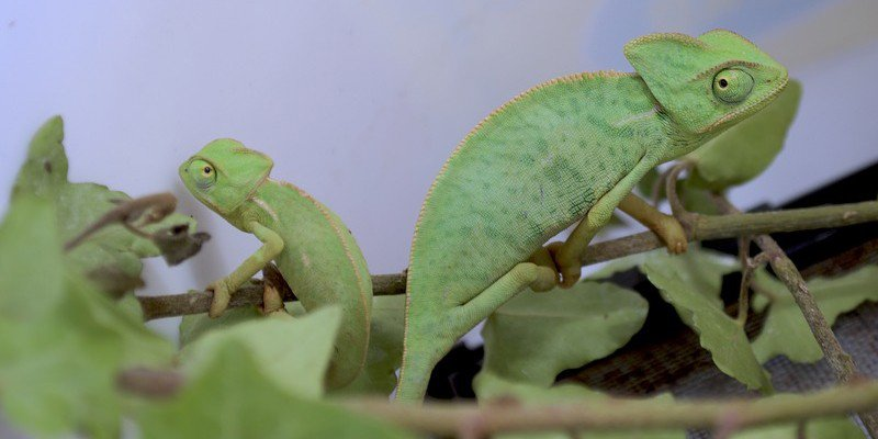 Baby chameleon living together