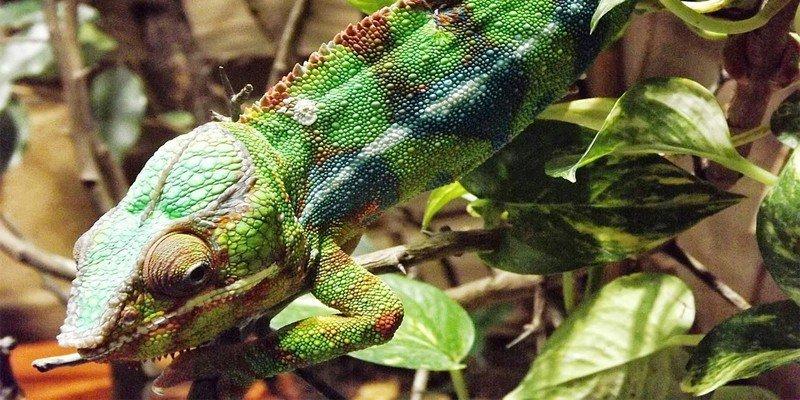 can chameleons hear you
