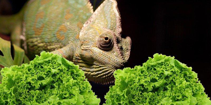 Can Chameleons Eat Lettuce