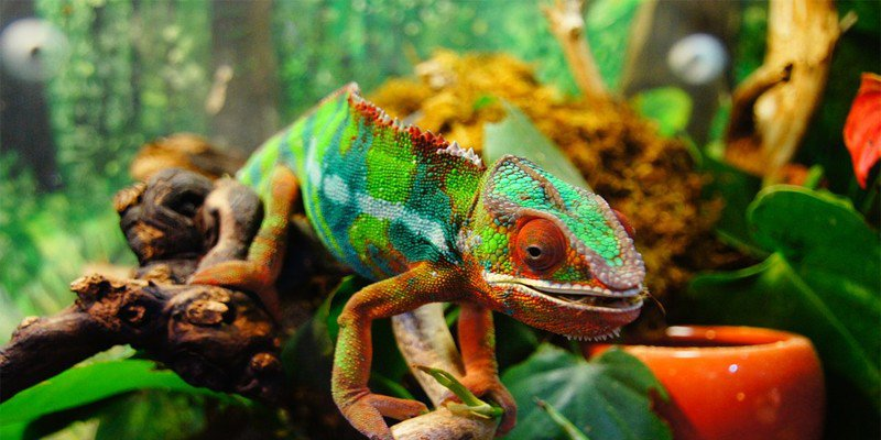 How Often To Clean A Chameleon Cage