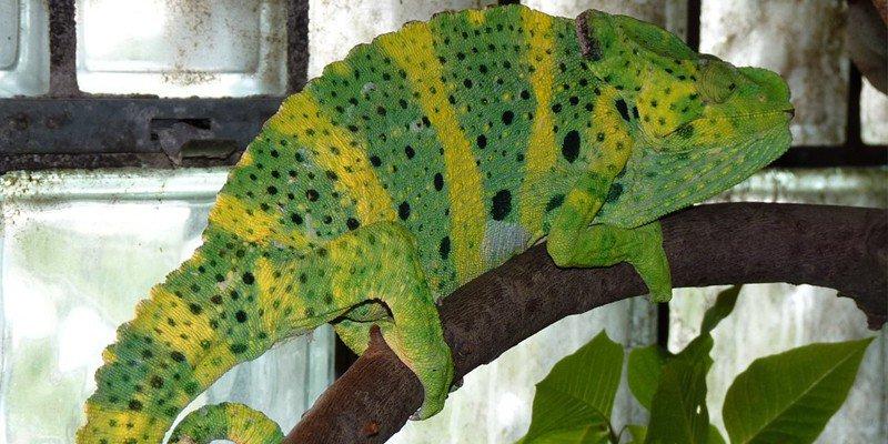 How Big Do Chameleons Get