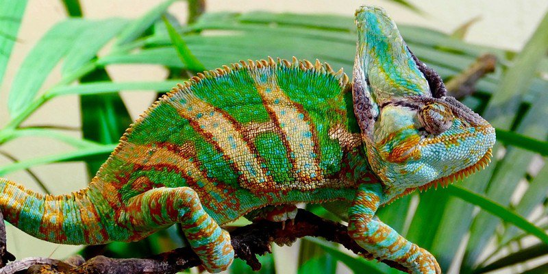How Big Do Veiled Chameleons Get