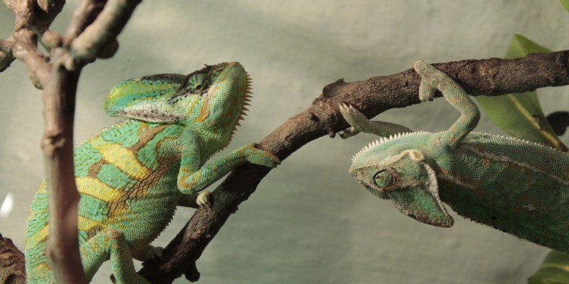can two chameleons live together
