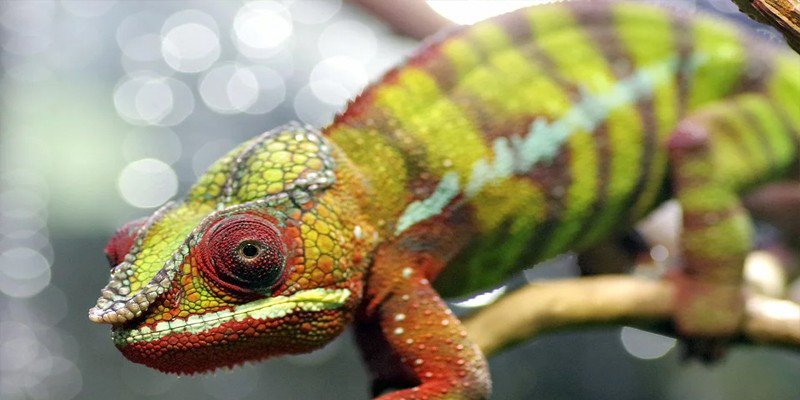 Where To Buy A Chameleon