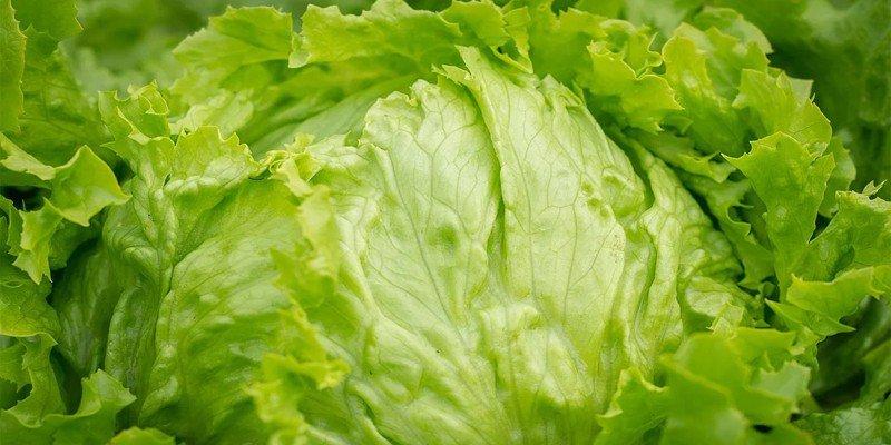 iceberg lettuce for chameleon