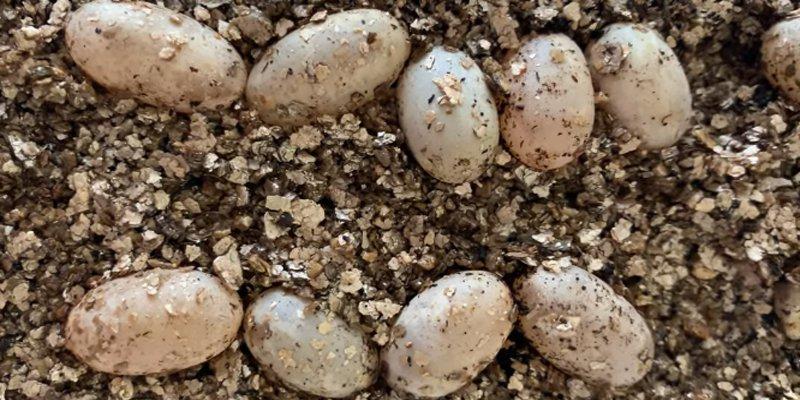 Do Chameleon Lay Eggs