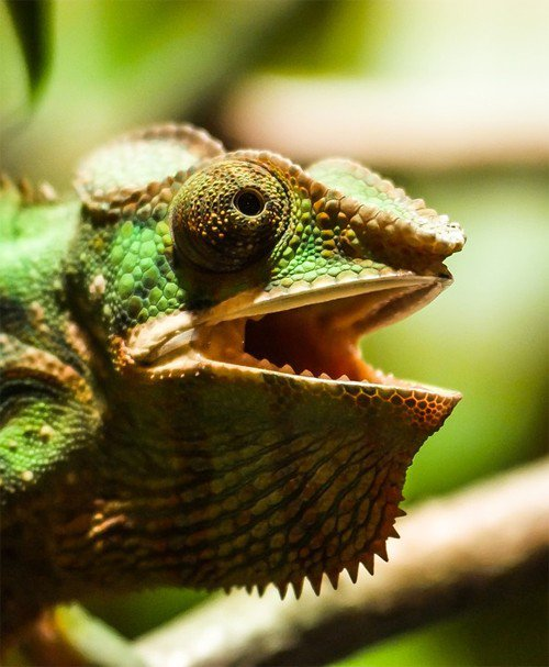 Chameleon Show teeth