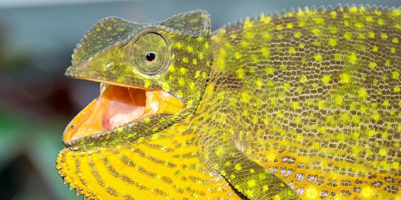 Chameleon Bite