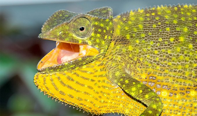 why do chameleons hiss