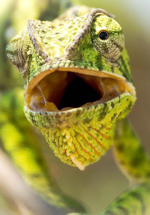 chameleon open mouth