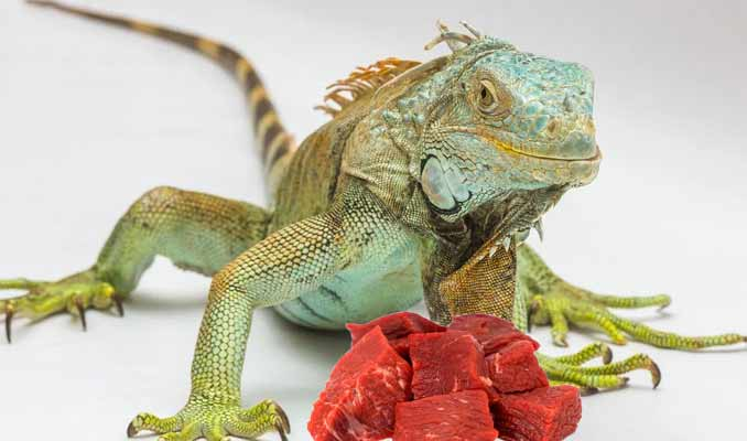 Can Iguanas Eat Meat