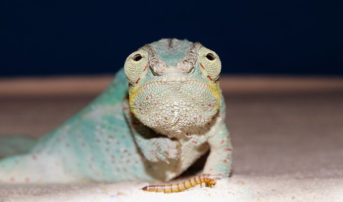 can chameleons eat mealworms