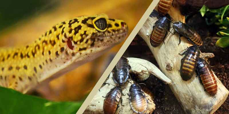 How Many Dubia Roaches To Feed Leopard Geckos