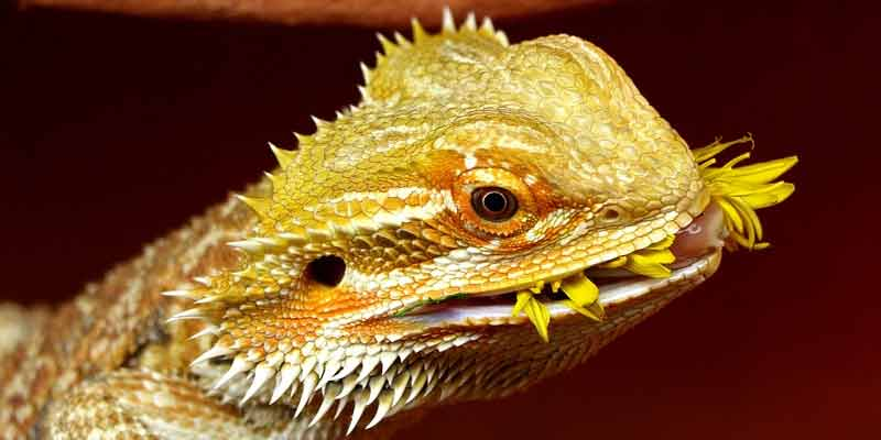 Can Bearded Dragons Eat Dandelions