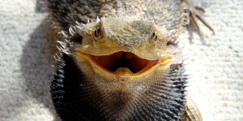 do bearded dragons have teeth