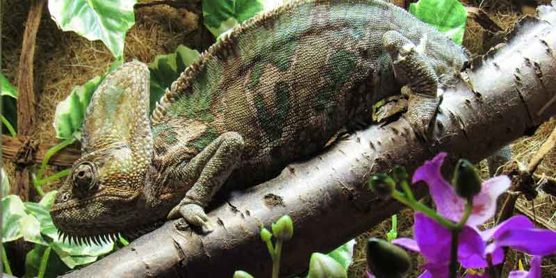 What Supplements Do Chameleons Need