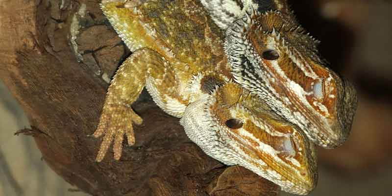 Why Do Bearded Dragons Close One Eye