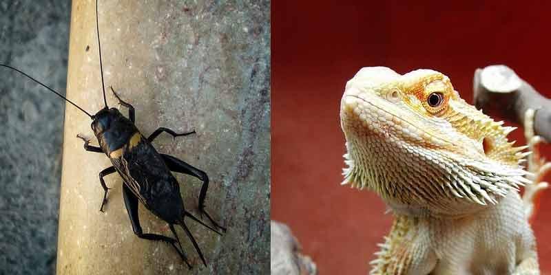 How Many Crickets To Feed A Bearded Dragon