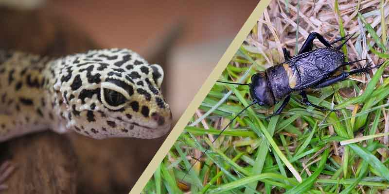 Can Leopard Geckos Eat Wild Crickets