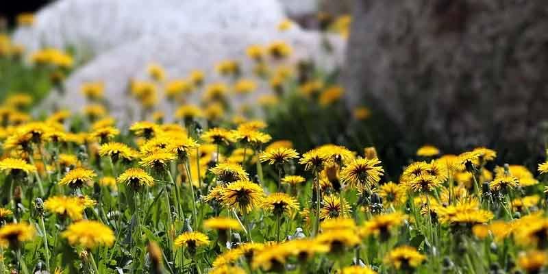 wild dandelions