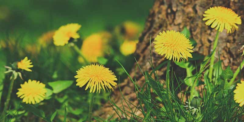 dandelions for bearded dragons