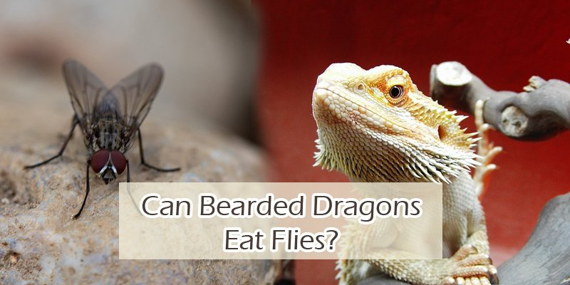 Can Bearded Dragons Eat Flies
