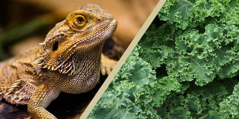 Can Bearded Dragons Eat Kale
