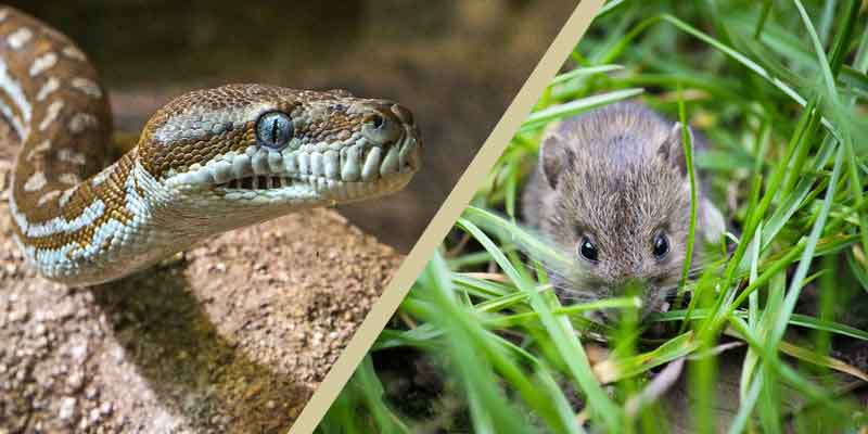 Can Pet Snakes Eat Wild Mice
