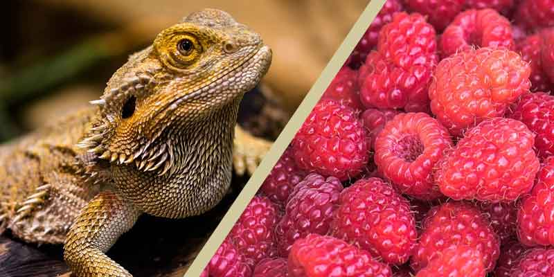 Can Bearded Dragons Eat Raspberries