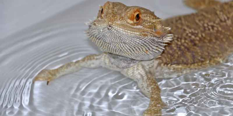 How To Bathe Bearded Dragon
