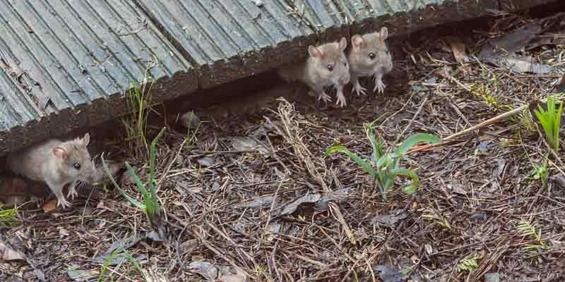 wild mice
