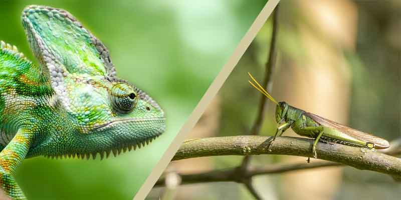 Can Chameleons Eat Grasshoppers