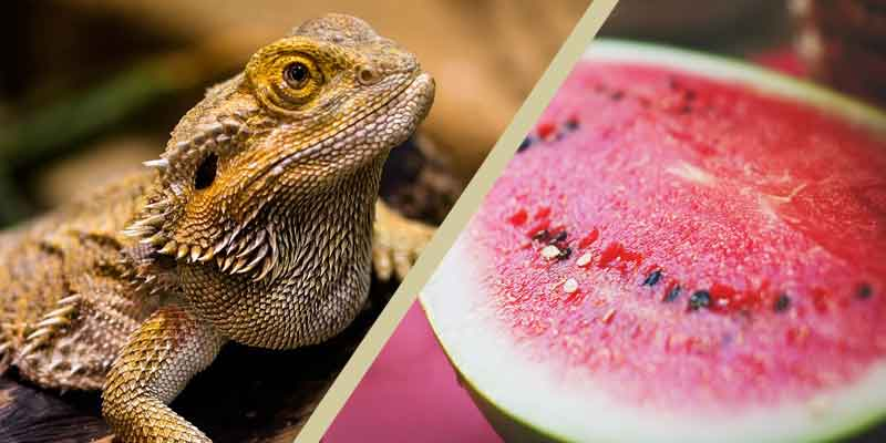Can Bearded Dragons Eat Watermelon