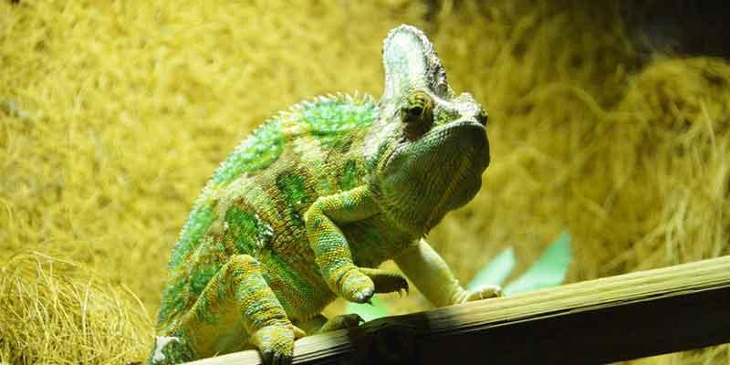 Do Chameleons Need Heat Lamp