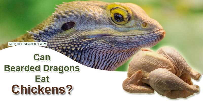 Can Bearded Dragons Eat Chickens