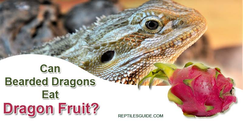 Can Bearded Dragons Eat Dragon Fruit