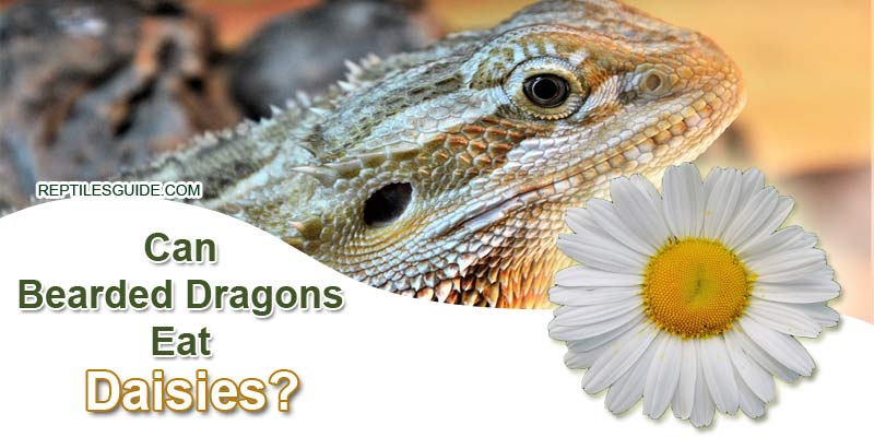 Can Bearded Dragons Eat Daisies
